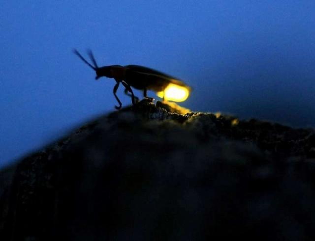 Вчені запозичили у світлячків спосіб підвищити ефективність світлодіодних ламп